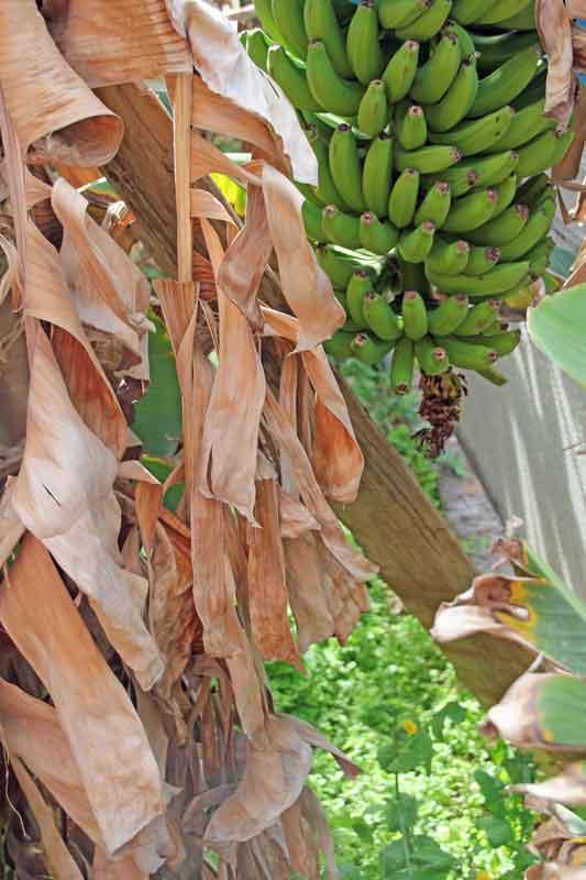 Bild 6 Bananen in den Gärten von Jardim do Mar