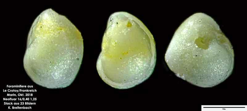 Bild 47 Foraminifere aus Le Crotoy Normandie/Frankreich. Gattung: konnte von mir nicht bestimmt werden