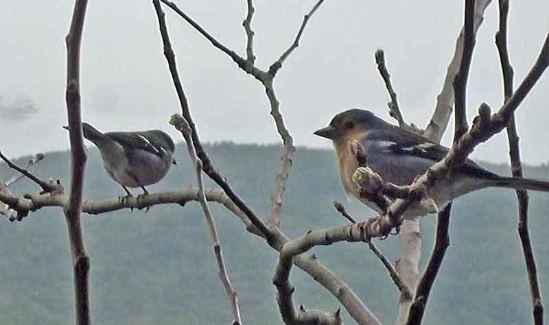 Bild 24 Bergfinken, unterwegs auf der Levada da Ribeira