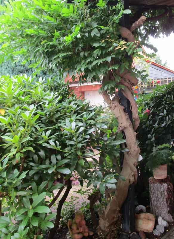 Bild 2 Japanischer Blauregen (Wisteria floribunda) in unserem Vorgarten - Stamm