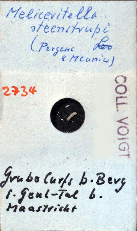 Bryozoen, Maastrichtian, Senckenberg, Voigt, fossil, Marine Evertebraten III