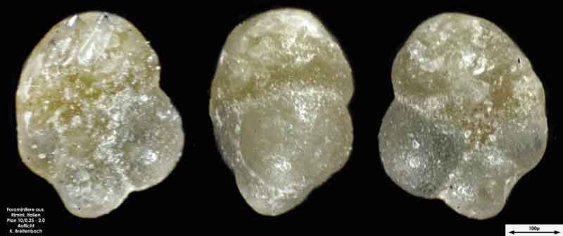 Bild 31 Foraminifere aus Strandsand aus Rimini; Gattung: Turborotalia sp.