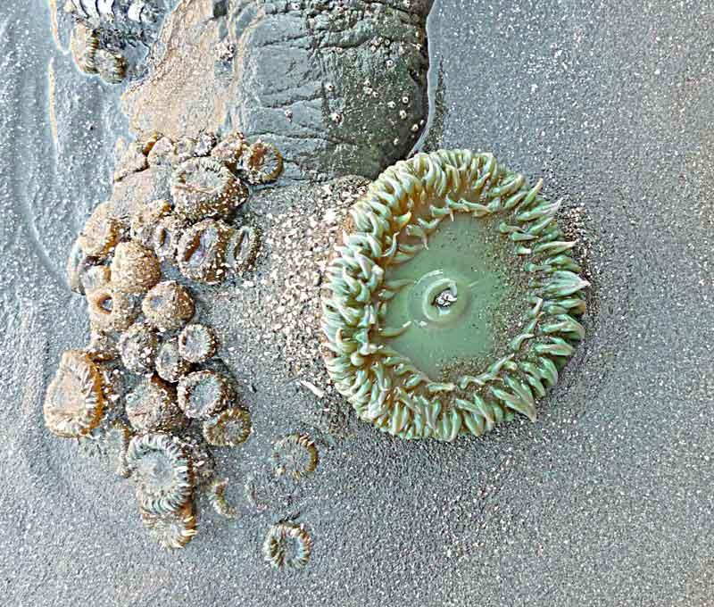 Bild 21 Ein kleine Seeanemone