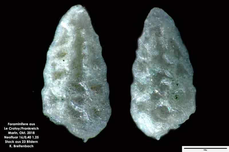 Bild 51 Foraminifere aus Le Crotoy Normandie/Frankreich. Gattung: konnte von mir nicht bestimmt werden