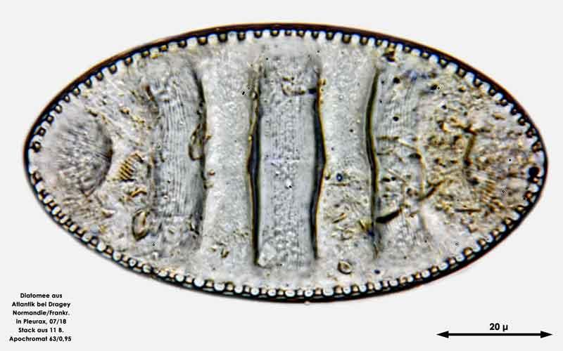 Bild 63 Diatomee aus dem Atlantik bei Draghey de Monton (Normandie). Gattung: Surirella sp.