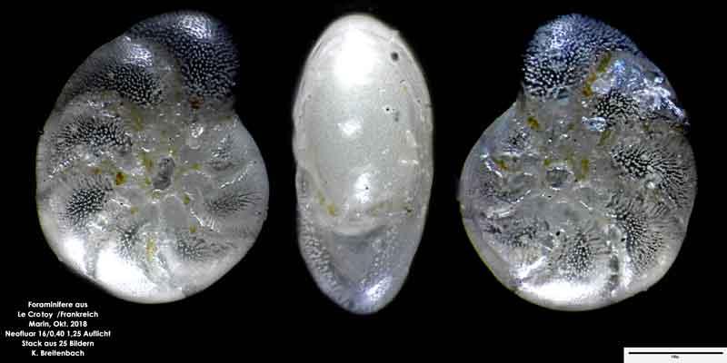 Bild 21 Foraminifere aus Le Crotoy Frankreich. Gattung: Haynesina sp