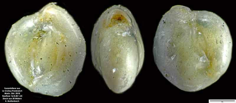 Bild 34 Foraminifere aus Le Crotoy Normandie/Frankreich. Triloculina sp.