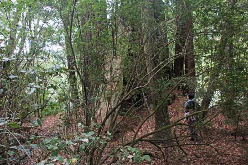 Bild 12 Auf der Wanderung durch die Redwoods
