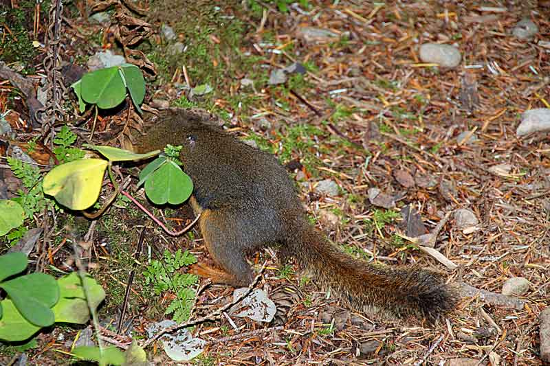 Bild 10 Squirrels fühlen sich hier wohl im dichten Regenwald im Quinolt National Forest