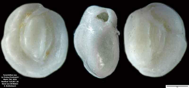 Bild 36 Foraminifere aus Le Crotoy Normandie/Frankreich. Triloculina sp.