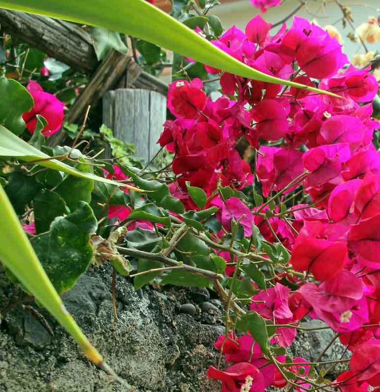 Bild 4 Blumen in den Gassen von Jardim do Mar