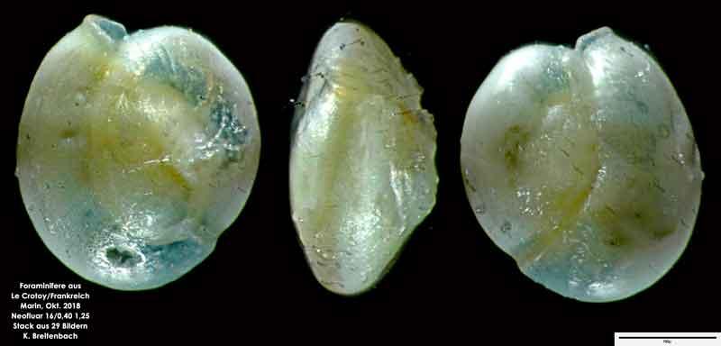 Bild 32 Foraminifere aus Le Crotoy Normandie/Frankreich. Triloculina sp.
