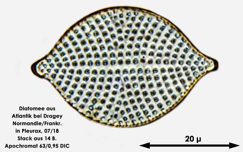 Bild 60 Diatomee aus dem Atlantik bei Draghey de Monton (Normandie). Art: Rhaphoneis amphiceros (Ehrenberg) Ehrenberg 1844