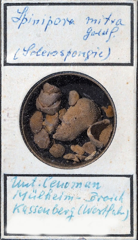 Bild 1 Bryozoe aus der Sammlung Voigt im Senckenberg Frankfurt