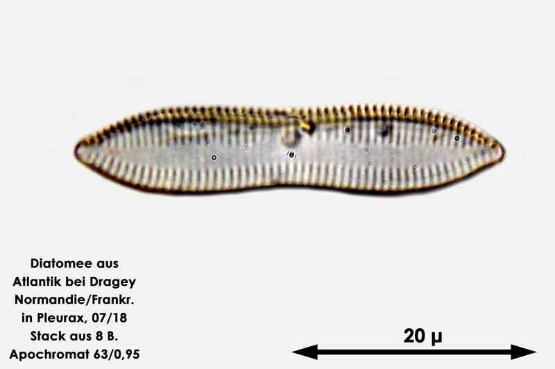 Bild 49 Diatomee aus dem Atlantik bei Draghey de Monton (Normandie). Gattung: Nitzschia sp.