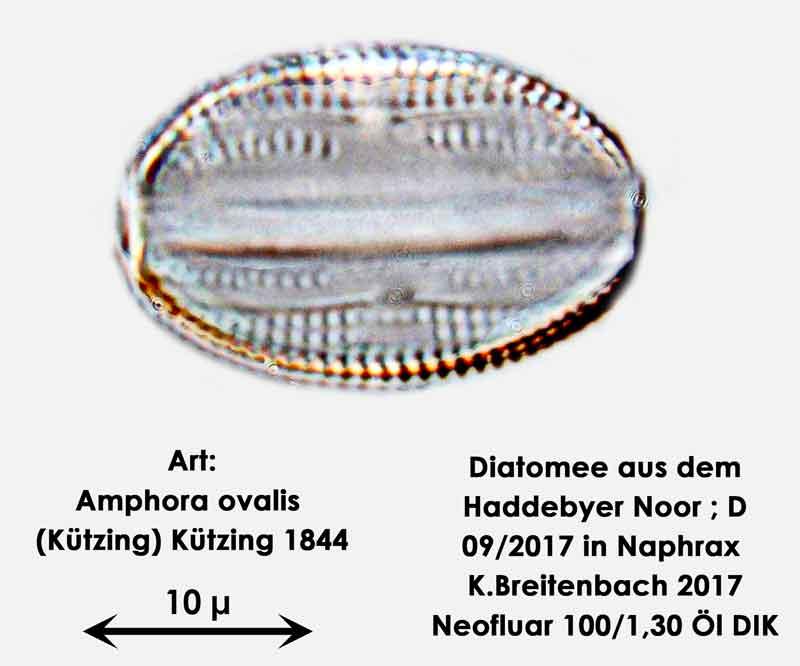 Bild 4 Diatomee aus dem Haddebyer Noor in Schleswig Holstein; Art: Amphora ovalis (Kützing) Kützing 1844.