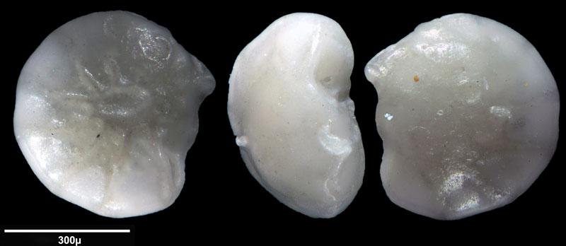 """Bild 5 Foraminifere aus Sand vom Lido in Venedig. Gattung: Ammonia sp, Koordinaten: 45°24'49.1""""N 12°22'42.0""""E"""