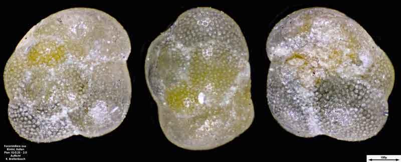 Bild 17 Foraminifere aus Strandsand aus Rimini; Gattung: Globorotalia sp.