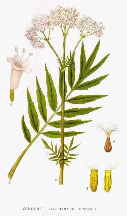 Bild 1: Quelle: Von «Bilder ur Nordens Flora» Stockholm, Gemeinfrei, httpscommons.wikimedia.orgwindex.phpcurid=5966376