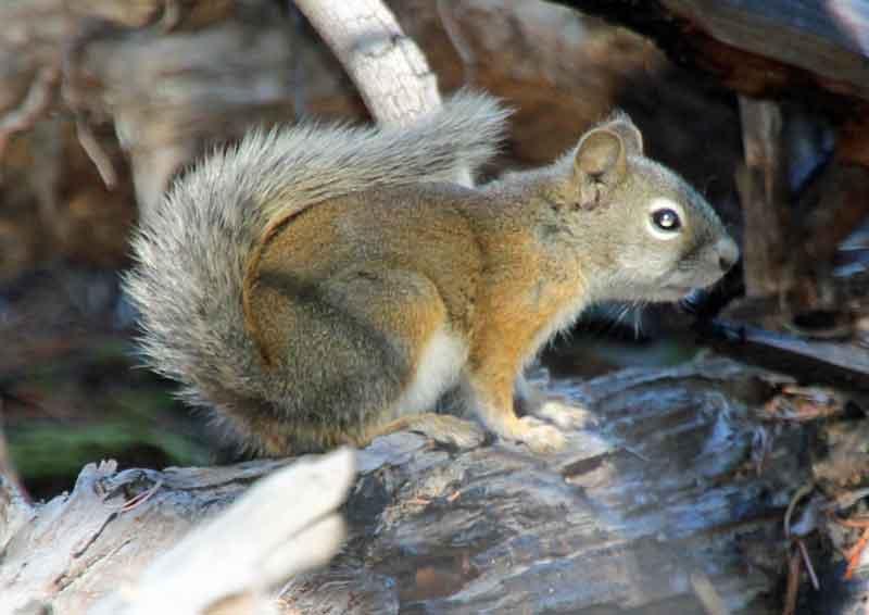 Bild 13 Der Pfad führt immer am Leigh Lake entlang, ab und zu turnt ein Squirrel in den Bäumen herum