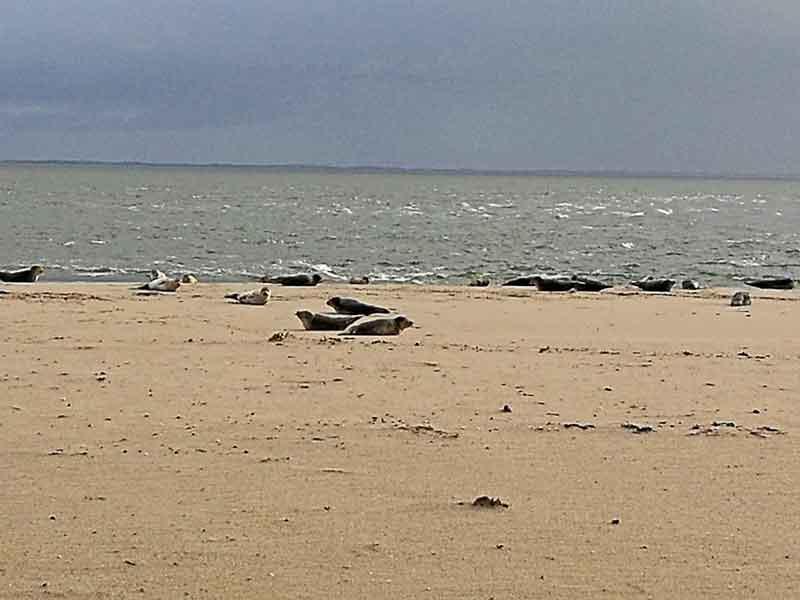 Bild 7 Robben am Watt