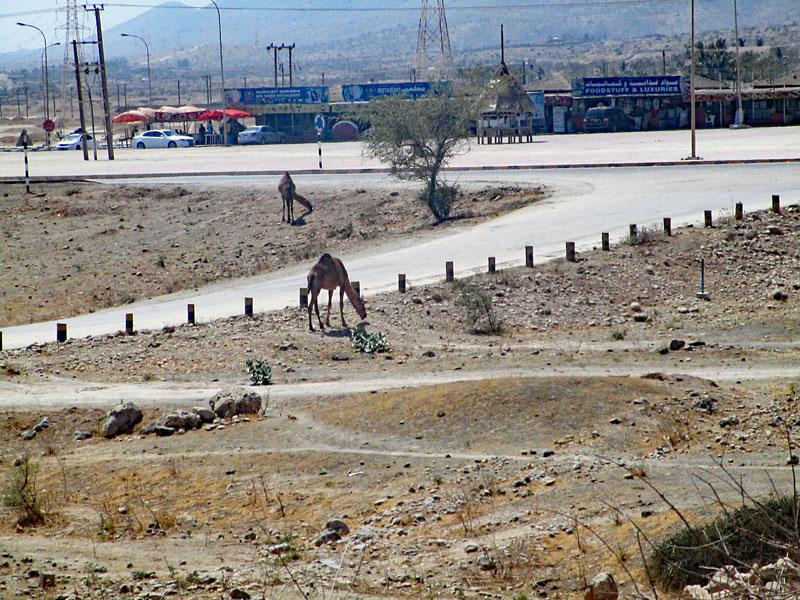 Bild 8 Kamele auf der Straße, auf dem Weg zu Hiobs Grab