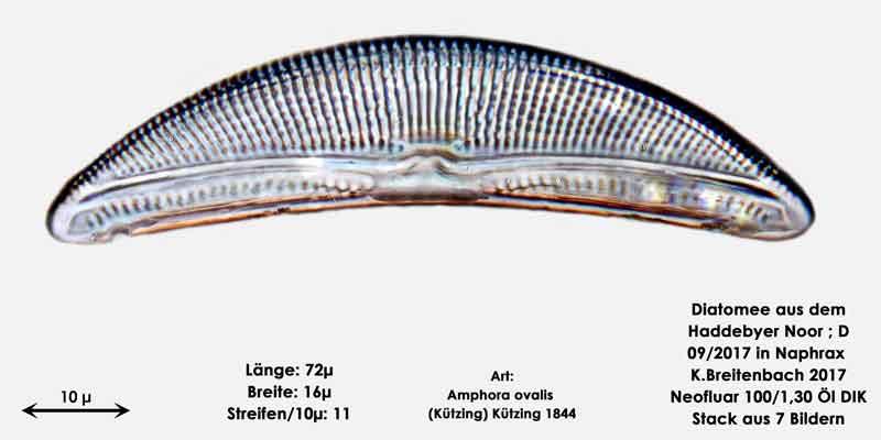 Bild 6 Diatomee aus dem Haddebyer Noor in Schleswig Holstein; Art: Amphora ovalis (Kützing) Kützing 1844.