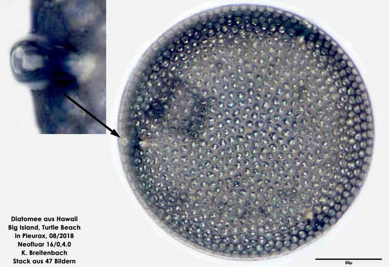 Bild 22 Diatomee aus Hawaii, Big Island, Turtle Beach. Art: Aulacodiscus argus (Ehrenberg) A.Schmidt