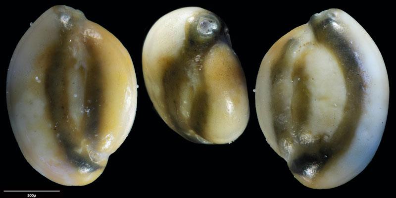 """Bild 23 Foraminifere aus Sand vom Lido in Venedig. Art: Quinqueloculina seminulum (Linnaeus, 1758), Koordinaten: 45°24'49.1""""N 12°22'42.0""""E"""