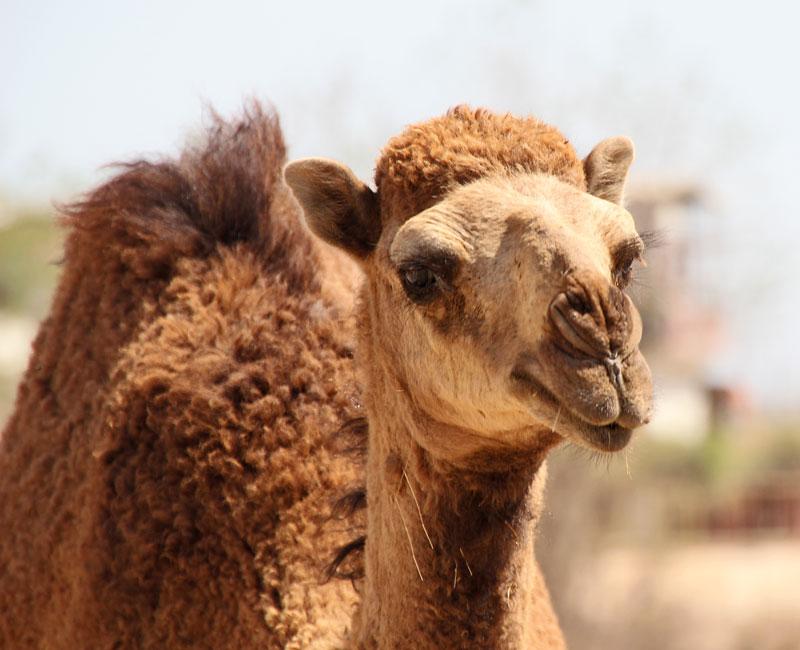 Bild 10 Kamele auf der Straße, auf dem Weg zu Hiobs Grab