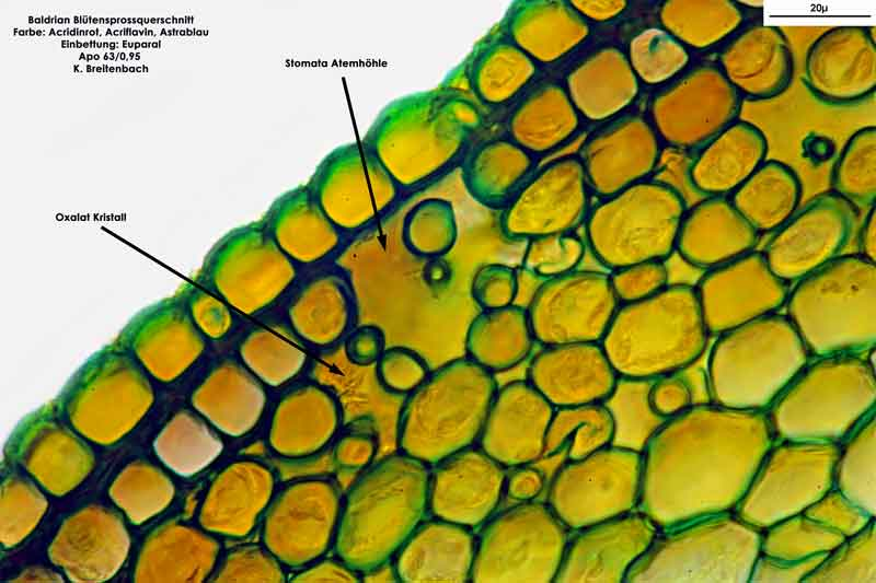 Bild 13 Blütensprossquerschnitt; Baldrian (Valeriana officinalis); Vergrößerung: 63fach