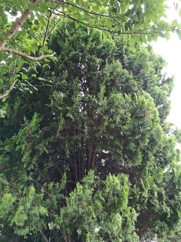 Bild 2 Morgenländischer Lebensbaum (Platycladus orientalis) in unserem Garten