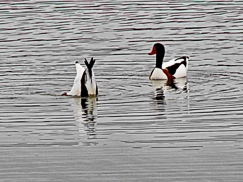 Bild 17 Vögel im Parc du Marquenterre