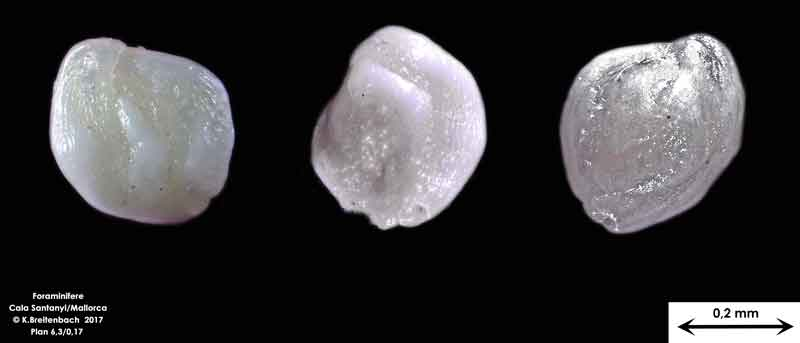 Bild 16 Foraminifere aus Mallorca Cala Santanyi, Art: Quinqueloculina sp.