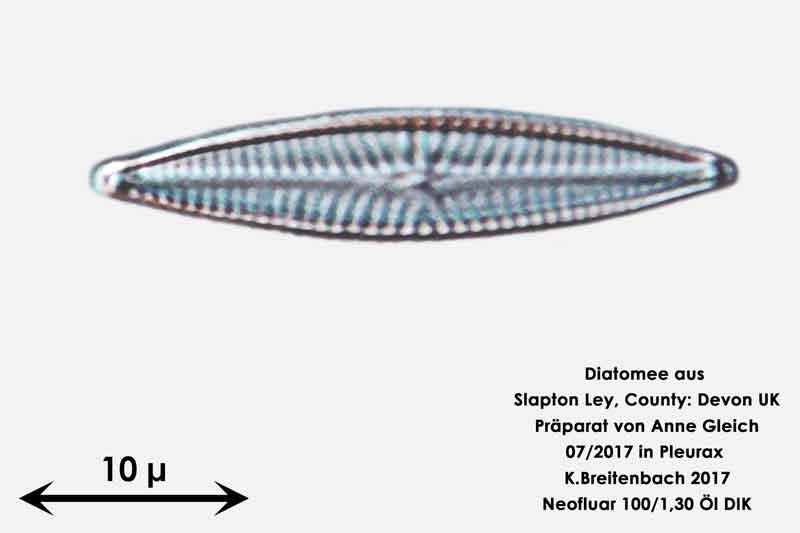 Bild 34 Diatomeen aus Slapton Ley, Devon UK; Gattung: Navicula spec.
