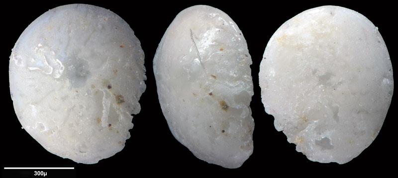Bild 9 Foraminifere aus Saudi Arabien, Ras as Zawr, Gattung: Amphistegina sp