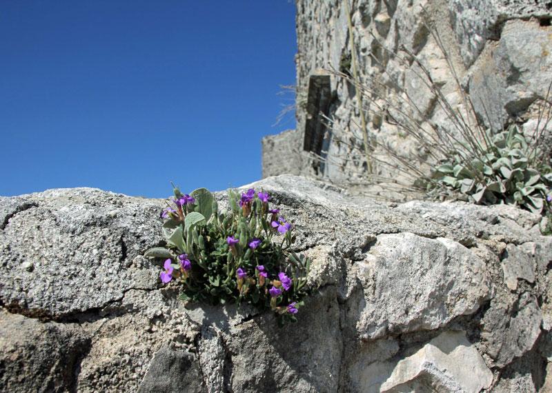 Blumen im Castello in Monte Sant'Angelo