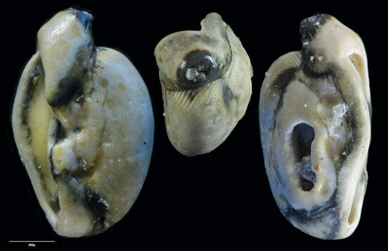 """Bild 26 Foraminifere aus Sand vom Lido in Venedig. Art: Quinqueloculina seminulum (Linnaeus, 1758), Koordinaten: 45°24'49.1""""N 12°22'42.0""""E"""