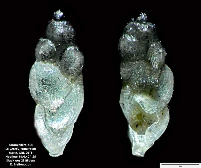 Bild 50 Foraminifere aus Le Crotoy Normandie/Frankreich. Gattung: konnte von mir nicht bestimmt werden