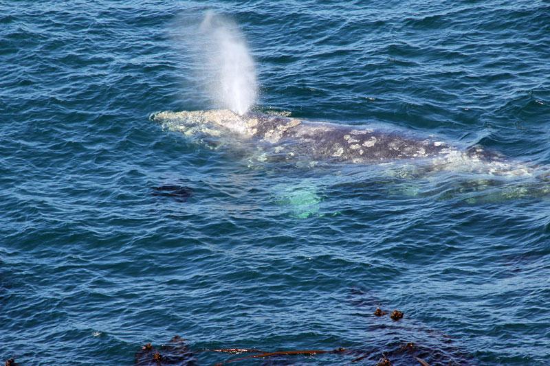 Bild 24 Plötzlich taucht direkt unterhalb der Plattform ein Wal