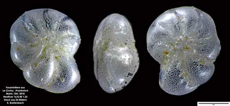 Bild 26 Foraminifere aus Le Crotoy Frankreich. Gattung: Haynesina sp