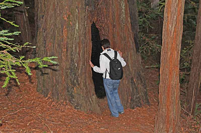 Bild 3 Gigantische Redwoods im Humboldt Redwoods State Park