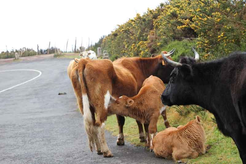 Bild 6 Kuhherde auf der Straße
