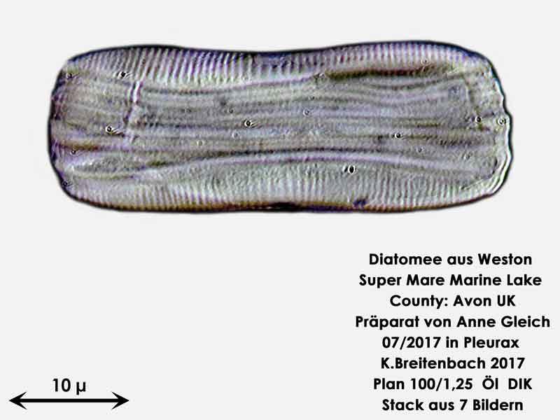 Bild 25 Diatomeen aus Weston Super Mare, UK Gattung: wurde von mir nicht bestimmt