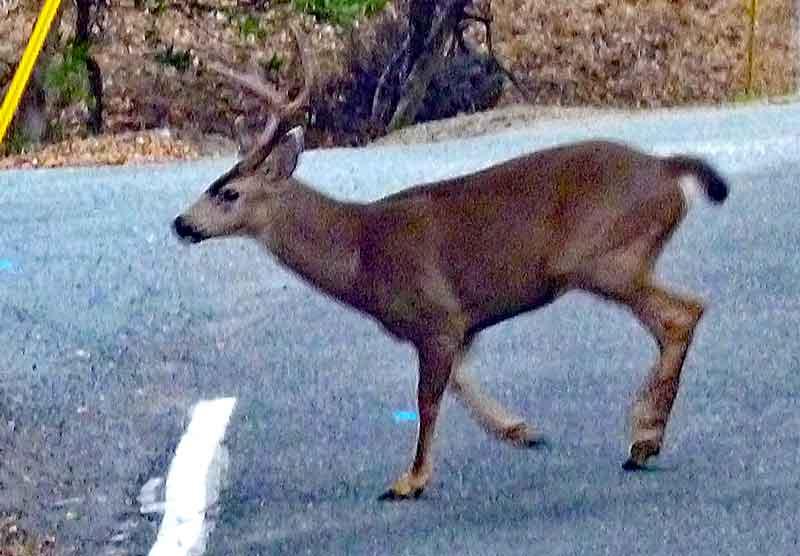 Bild 15 Deer unterwegs an der kurvigen Straße