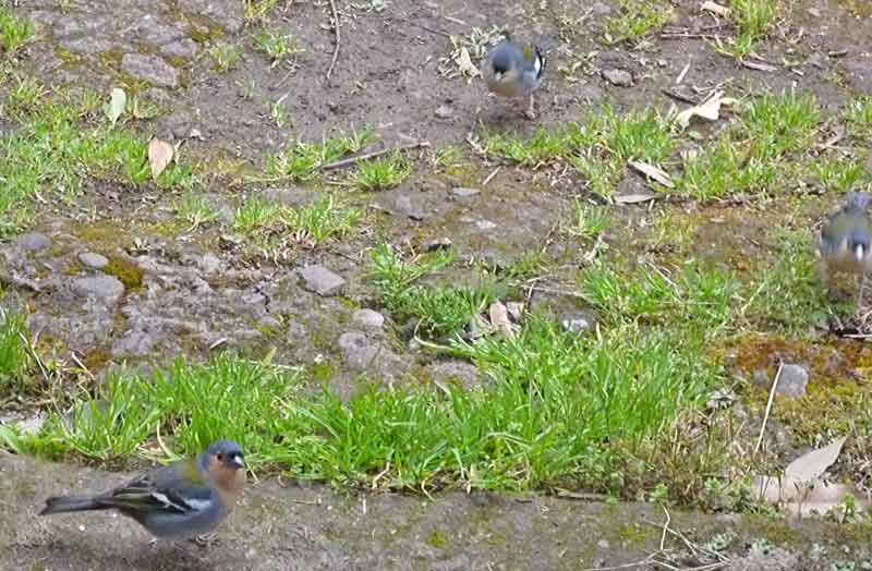 Bild 21 Bergfinken, unterwegs auf der Levada da Ribeira