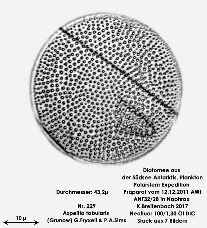 Bild 24 Diatomee aus dem anarktischen Ozean Präparat: ANT32/28; Art: Azpeitia tabularis (Grunow) G.Fryxell & P.A.Sims