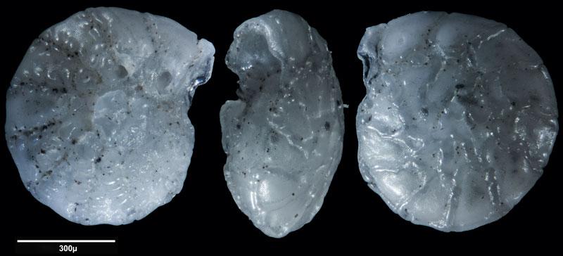 """Bild 11 Foraminifere aus Sand vom Lido in Venedig. Gattung: Ammonia sp, Koordinaten: 45°24'49.1""""N 12°22'42.0""""E"""