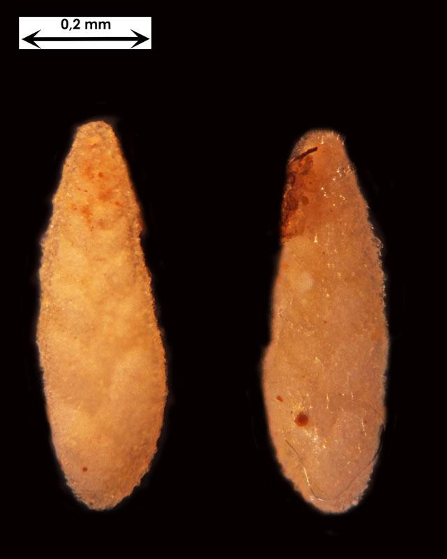Foraminifere aus Waldlaubersheim vermutlich Bolivina spec.