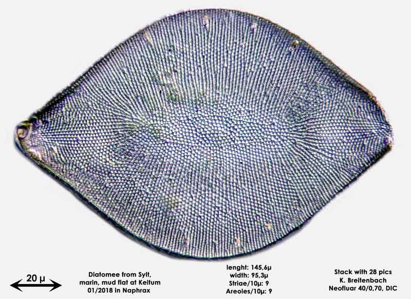 Bild 16 Diatomee aus Sylt/Keitum Watt, Art: Biddulphia rhombus (Ehrenberg) Smith 1854